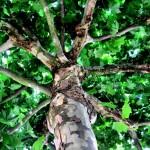 German Tree