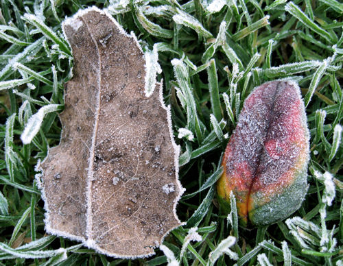 Two Frozen Leaves